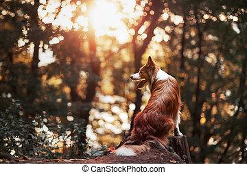 orgulloso, frontera, collie, perro,