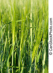 green ear wheat