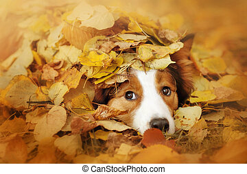 young border collie dog playing with leaves in autumn -...