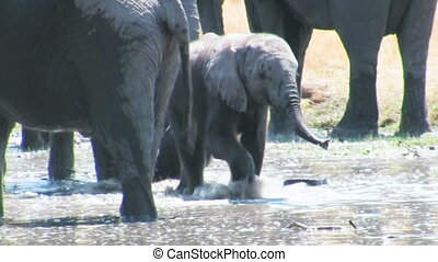 African elephant baby plays in the water - African elephant...