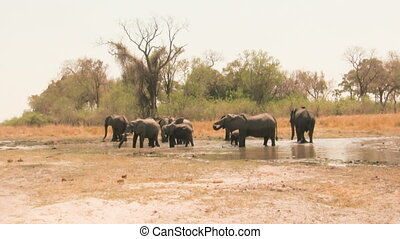 African elephants at waterhole - Herd of african elephants...