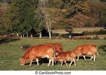 Autumn cattle