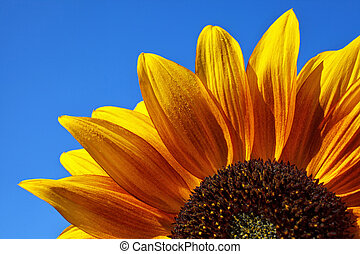 Close-up of a colorful sunflower with dew drops in blue sky...