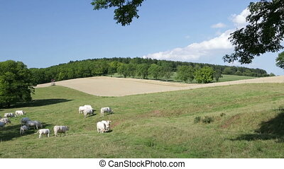 Cows In Hill Landscape - Cows grazing on a green meadow in...