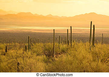 Saguaro national park in Sonoran desert