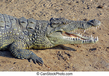 african crocodile - sunny scenery including a crocodile...