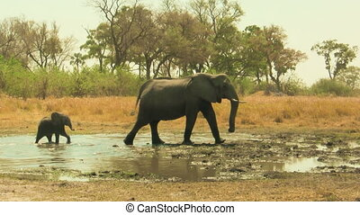 African elephant baby following its mother
