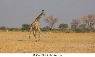 Walking giraffe - Giraffe walking in savanna in hot sunny...