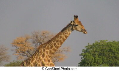 Walking giraffe profile - Giraffe walking in savanna in hot...
