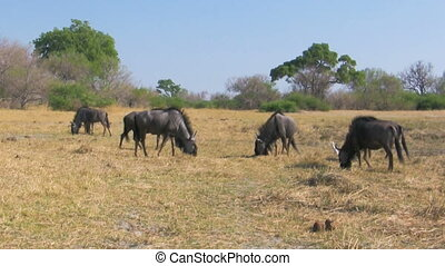 Feeding wildebeest herd in savanna, Connochaetes taurinus,...