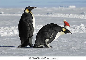 Penguin couple on Xmas - Antarctic penguin couple on Xmas