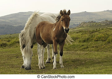 Horse with foil - A grazing free-living pony with foil