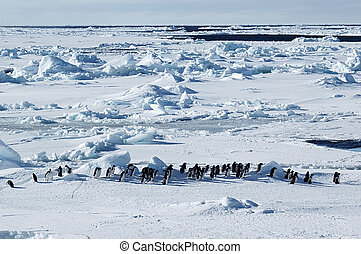Antarctic penguin march - Group of adelie penguins marching...