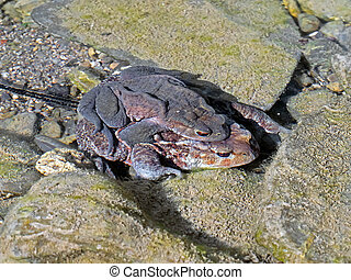 Toads mating underwater in stream, with spawn Bufo bufo -...