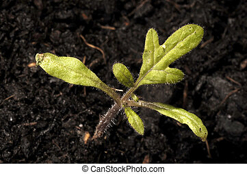 Young tomato plant