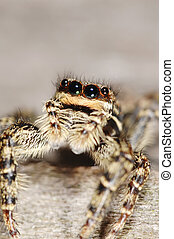 Salticid spider - A salticid spider with big eyes