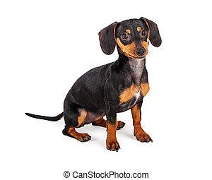 Cute Dachshund Puppy Dog Sitting