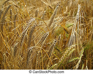 Grain-field - Barley grain-field in summer