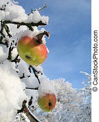 Winter apple vertical - Winter apple tree with blue sky...