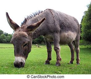 Donkey - A grazing donkey