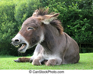 Laughing donkey on a meadow