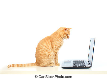 Domestic cat with laptop computer. - Red domestic cat...