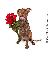 Happy Dog Holding A Dozen Roses - A cute brindle color Pit...