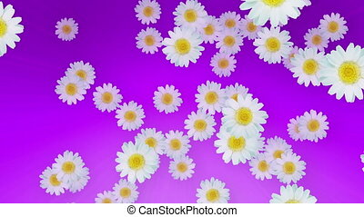 Spring Summer Daisies Purple - Daisies in the air in...