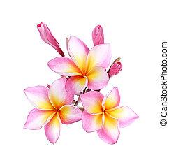 pink frangipani, plumeria flower on white