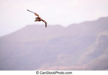 Common Kestrel Hawk Bird - Hunting and Flying Common Kestrel...