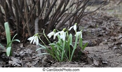 Snowdrop - Video made in low ambient light.