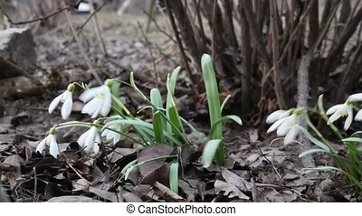 Snowdrop. - Video made in low ambient light.