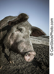 Pig snout close up - Dirty pig on a farm outdoors