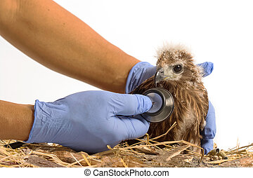 veterinarian holding and checkup young Red-backed Sea-eagle...