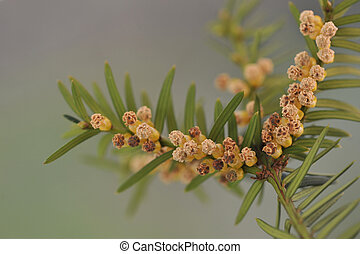 Twig of yew with male flowers. Taxu - Twig of yew with male...