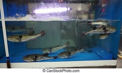 porcupine fish for sashimi swim - fugu, pufferfish,...