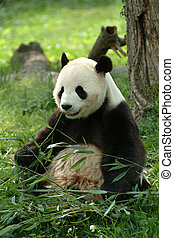 Giant pandas in a field - A Giant panda in a field with a...