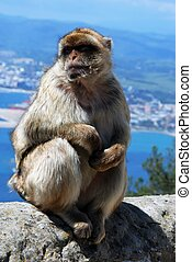 Barbary Ape sitting on a wall. - Barbary Ape (Macaca...
