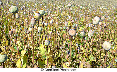 Dry poppy heads in field close up