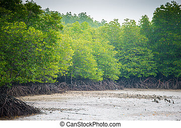 mangroves in Phuket Thailand