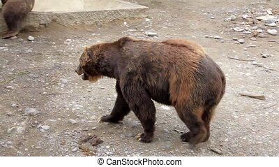 Grizzly Sittig - female grizzly or brown bear sitting in...