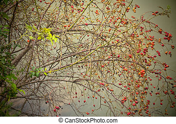 Bush - A thin branch bush with red fruit extending out over...