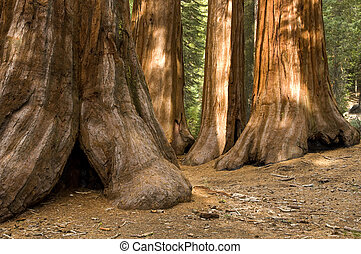 Redwood Trees in Mariposa Grove, Yosemite - The Bachelor and...