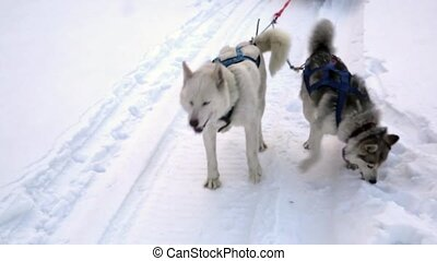 Husky Team - Woman musher hiding behind sleigh at sled dog...