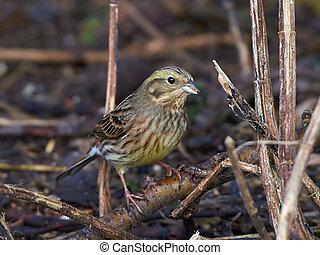 Yellowhammer Emberiza citrinella - Yellowhammer eating and...