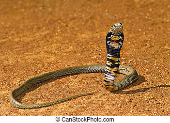Cobra - Spitting cobra ready to attack in Kalahari Desert,...