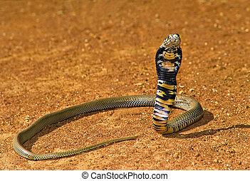 Cobra - Spitting cobra ready to attack in Kalahari Desert,...