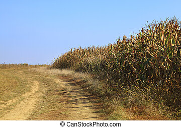 Country dirt road - Country road in autumn, near a maize...