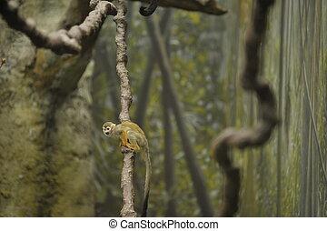 squirrel monkey on a vine