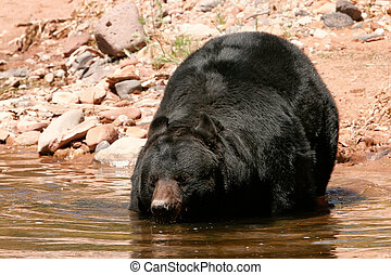 American black bear going into the water - American black...